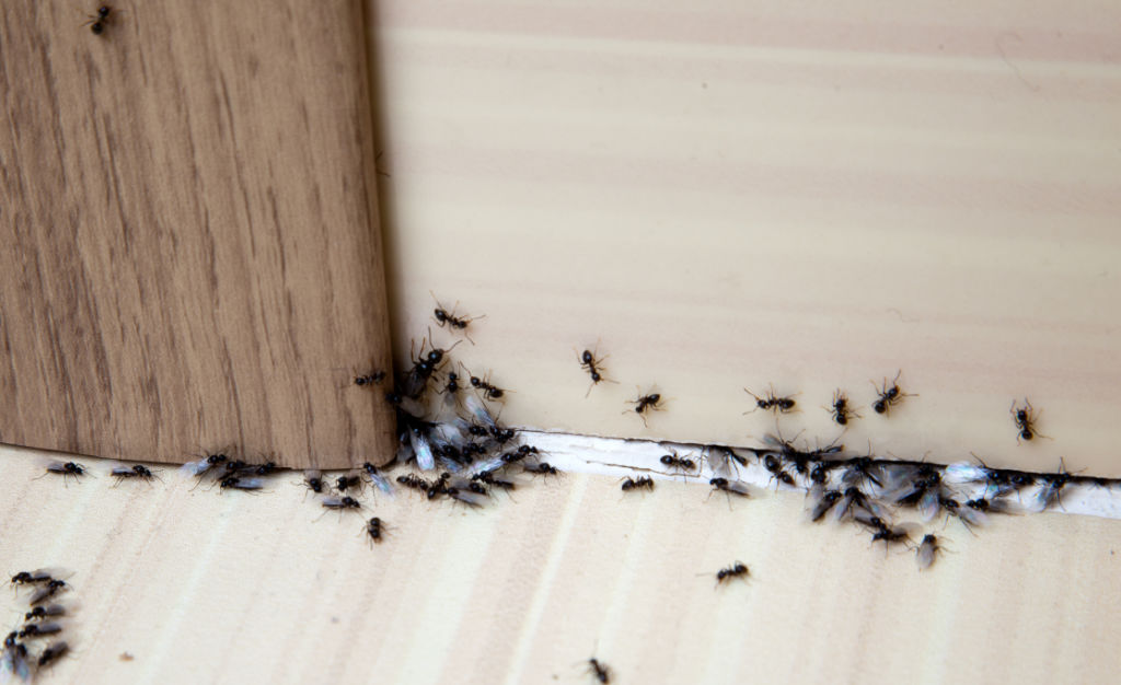 black-ant-pest-spray