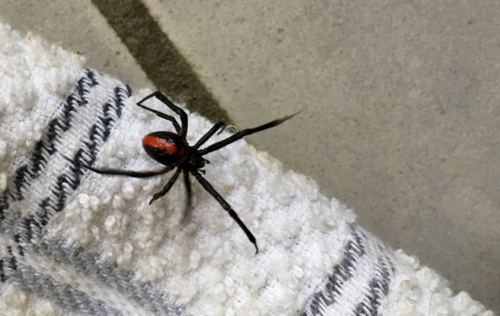 redback-spider-spray